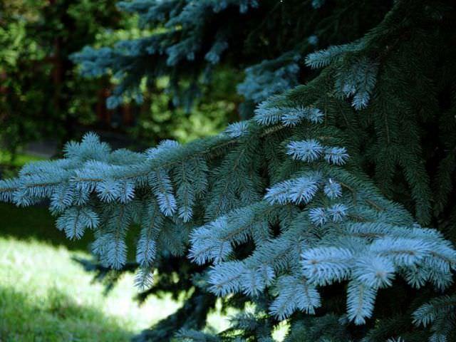 голубая елка