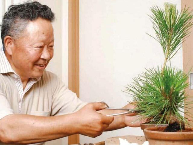 формирование карликового деревца