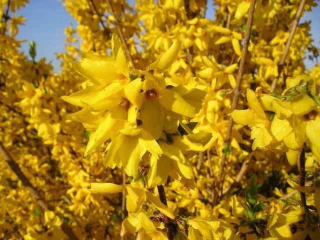 Форзиция время цветения