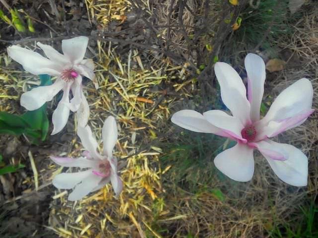 Магнолия цветок размножение и уход видео