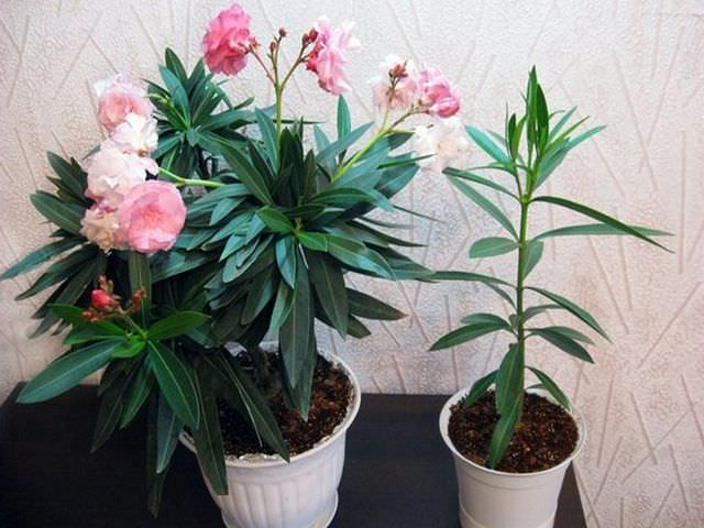 выращивание олеандра в квартирных условиях