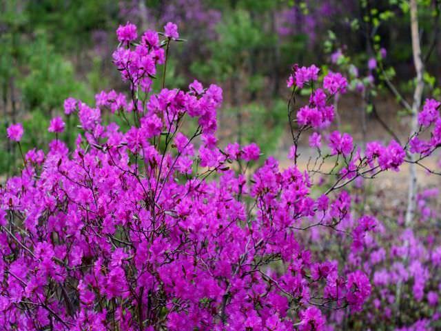 Рододендрон даурский выращивание фото