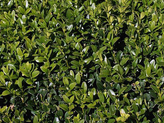 как правильно вырастить самшит в саду