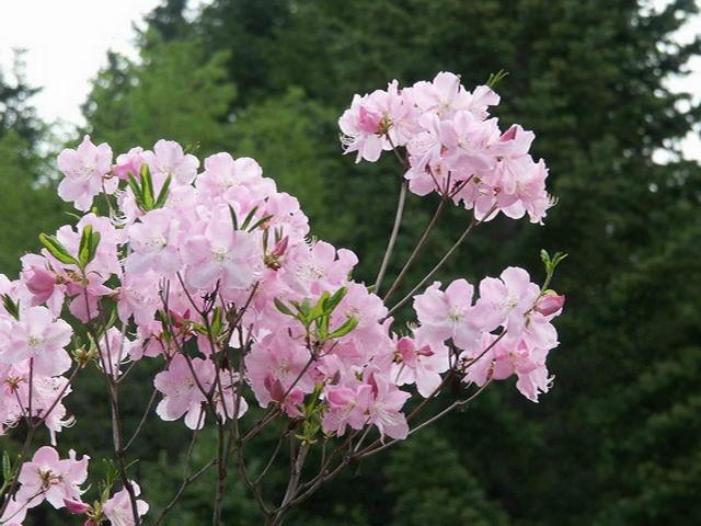 Азалия во время цветения
