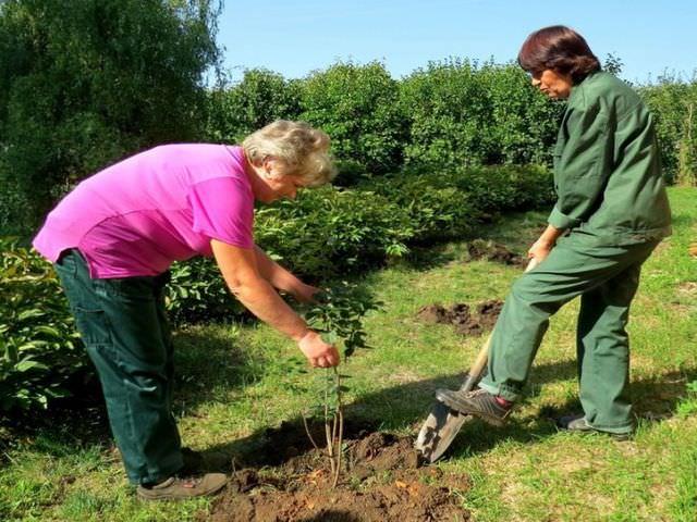 Посадка кустарника на садовом участке