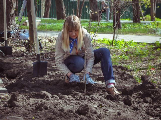 Как посадить правильно кустарник в грунт