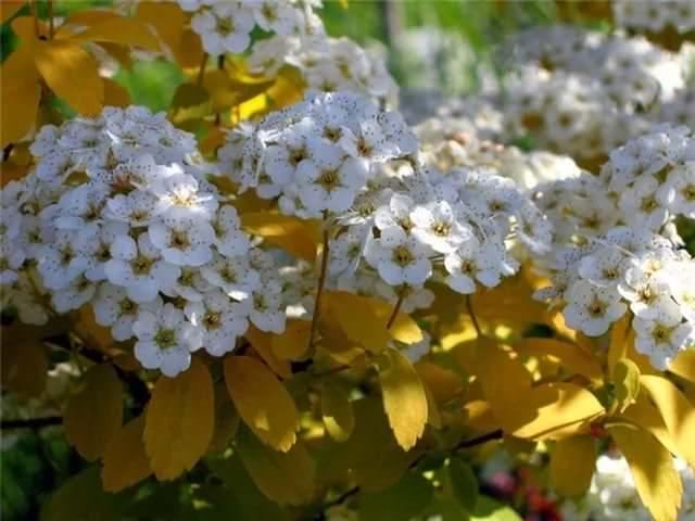 Цветки кустарника