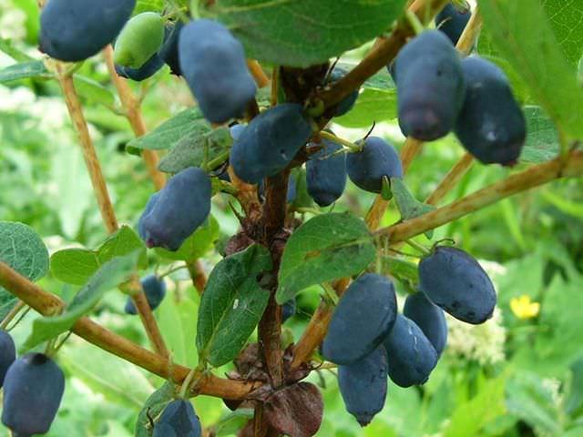 Растение с голубыми ягодами