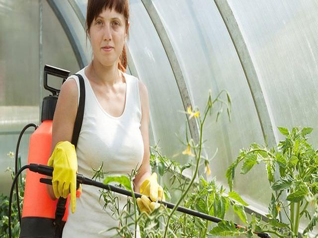 Опрыскивание томатов химическим средством