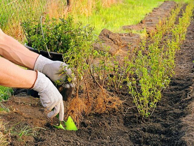 Озеленение сада декоративными кустарниками