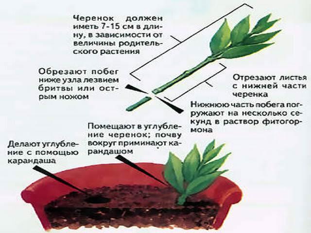 Схема размножения черенкованием