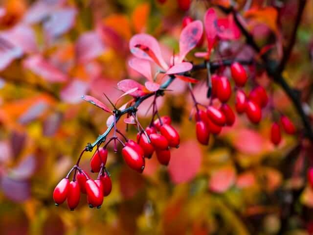 Ярко-красные ягоды и листья