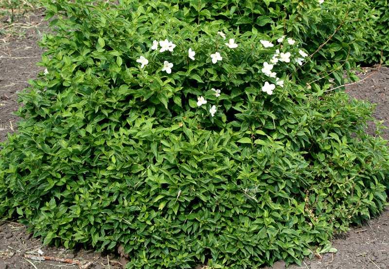 Чубушник венечный фото кустов