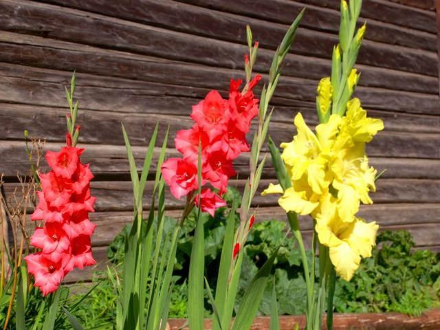 Когда готовить гладиолусы к посадке весной?
