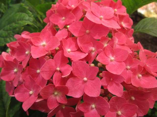 Растение гортензия с с цветными лепестками