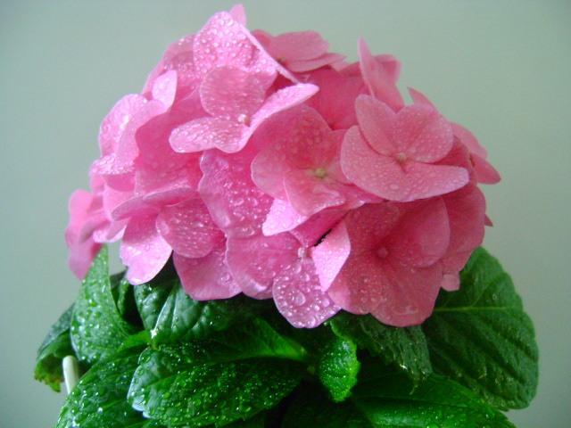 Комнатный цветок гортензии