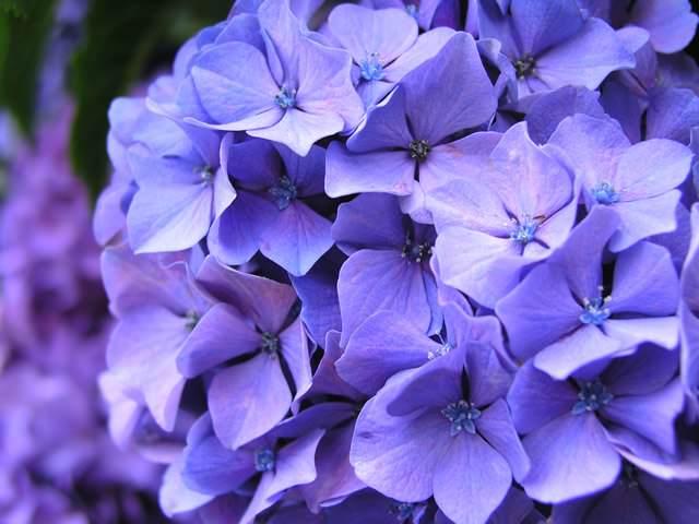 Вид гортензии с фиолетовым оттенком