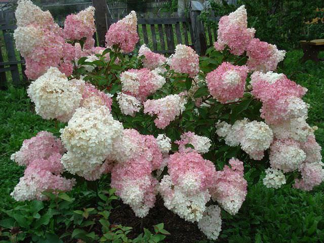 Выращивание цветкового кустарника на даче