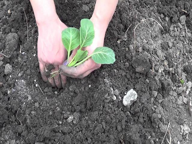 Высадка капусты в слабокислую землю