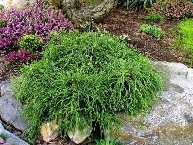 Разновидность хвойного декоративного растения