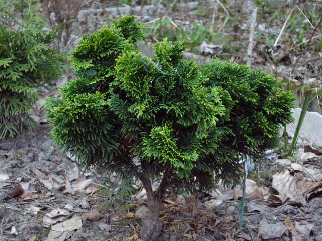 Растущее деревцо с игольчатыми ветками