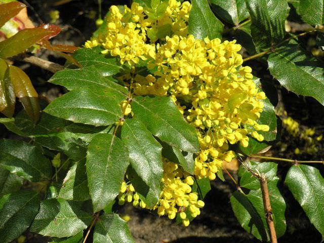 Магония падуболистная цветение