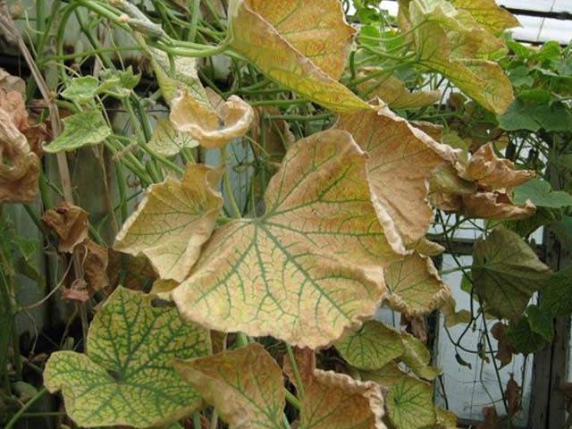 Обжег листья нитрофоска