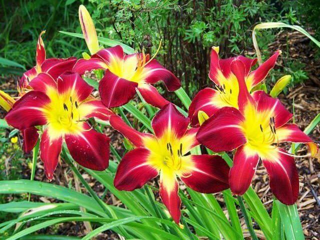 Яркие цветы на клумбе