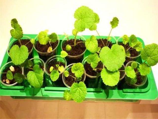 Выращивание садовых растений из семян