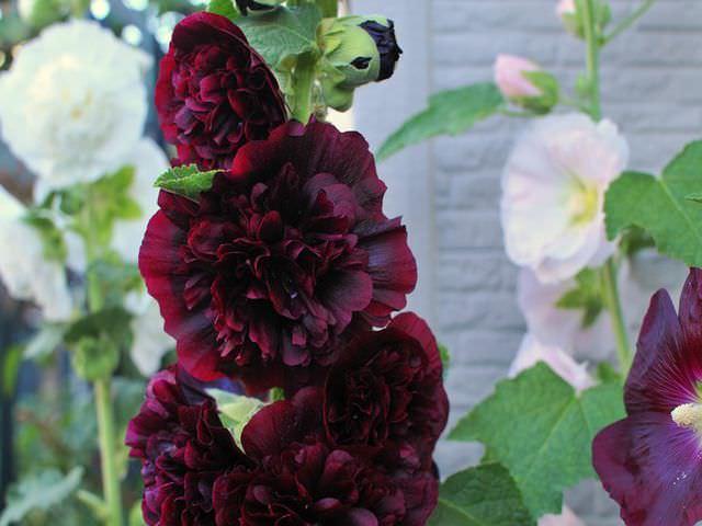 Как растет шток роза