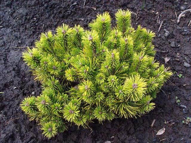 Хвойное растение на участке