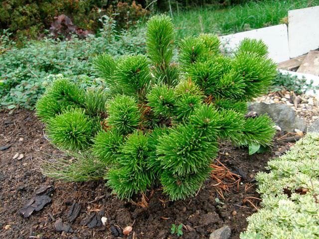 Хвойное деревце на садовом участке