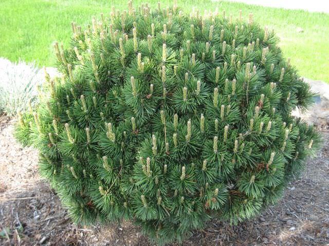 Выращивание хвойного деревца на участке