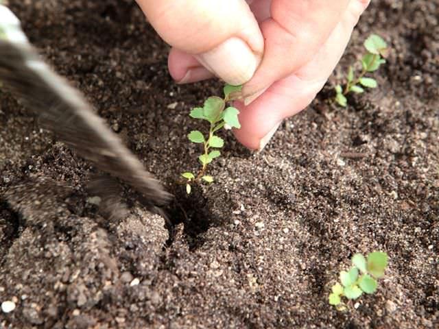 Размножение садового растения