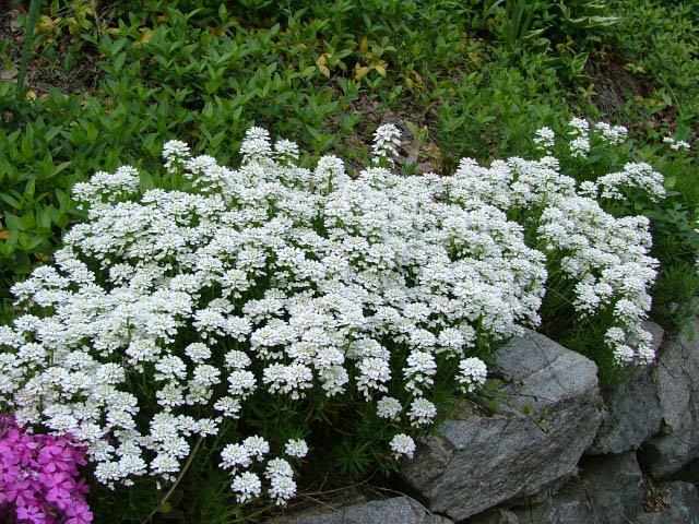 Цветы для альпийский горки фото