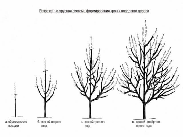 Правильное формирование кроны дерева