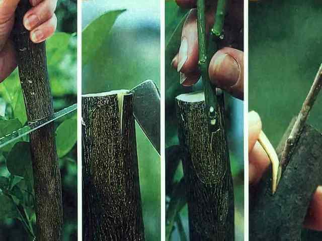 Причины неудачных прививок деревьев