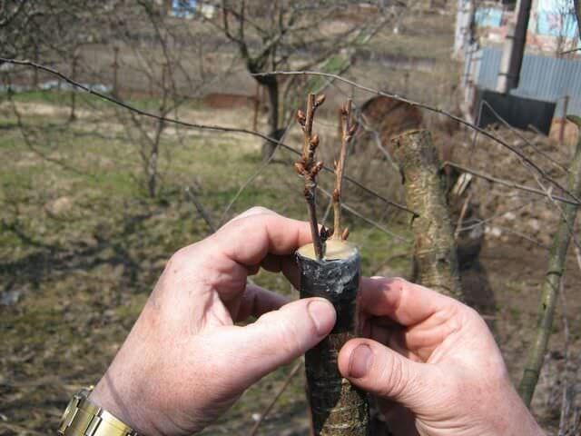 Как осуществлять прививки деревьев?