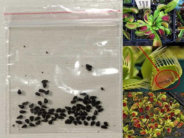 Как сажать венерину мухоловку из семян 89