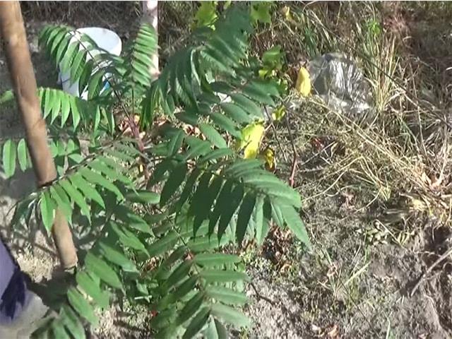 Секреты успешного выращивания сумаха