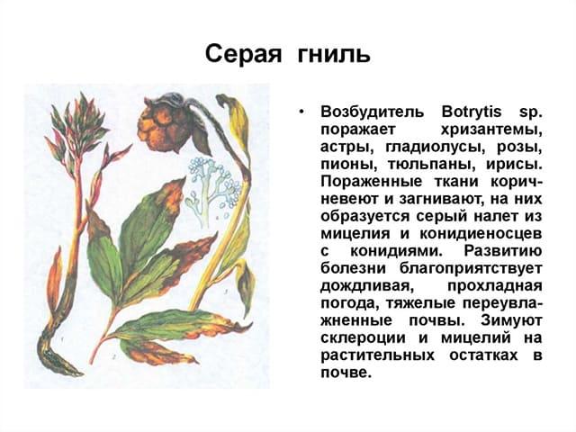 Серая гниль тюльпанов: описание и способы борьбы